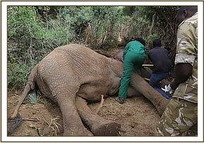 The elephant is anaesthetised for treatment