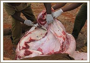 A postmortem was done on the dead calf