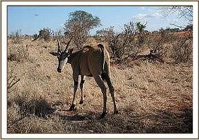The eland with a snare round its neck
