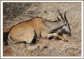 The eland after the snare is removed