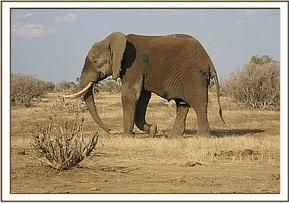 The elephant walking away after treatment