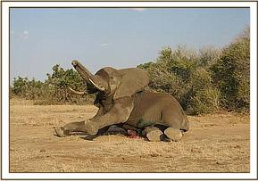 The elephant wakes up after the reversal drug is administered