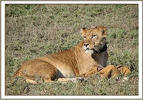 The lioness awake after the reversal drug is administered