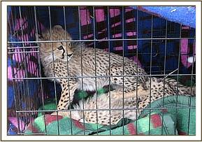 The rescued cheetah cubs ready for transport