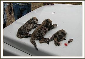 The three dead cubs