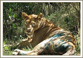 The lioness awake after treatment