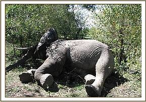The elephant with joint dislocation in Lemek