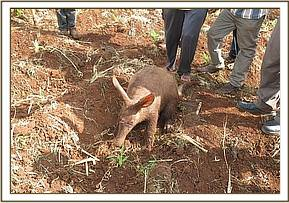 An aardvark was reported by the community