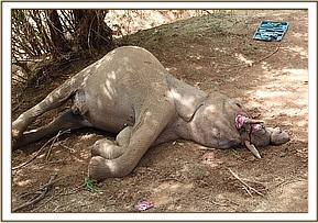 Autopsy on 5 year old elephant