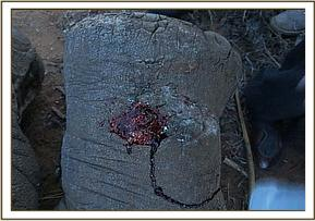 A deep penetrating wound on the elephants leg