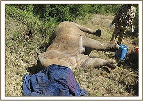 The rhino after sedation