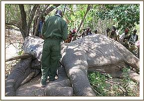 The local community watch on as vets treat the elephant