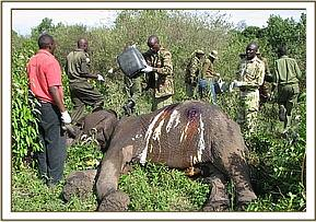 The elephant after the wounds are cleaned and treated