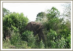 The elephant heads off into the bushes
