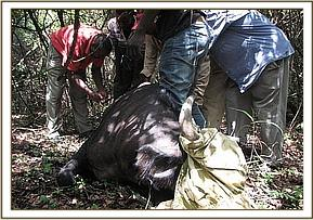The buffalo is darted and captured