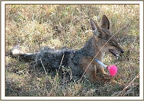 Black Backed Jackal with rabies Mara