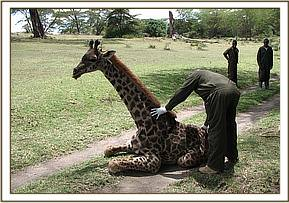 The giraffe after treatment