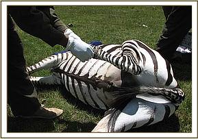 Desnaring a Zebra, Nderit Estate