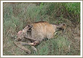 Dead Eland on Soysambu ranch in Nakuru