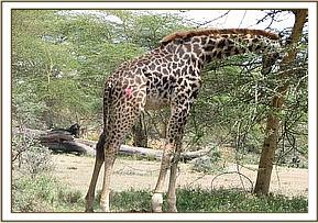 Injured giraffe on Nderit Estate - Naivasha
