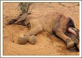 Second carcass was of a young female elephant