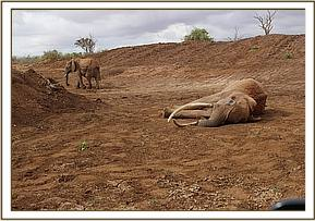Recumbent elephant cow near a water hole