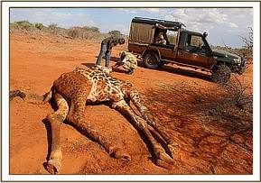 The giraffe was unfortunately too weak