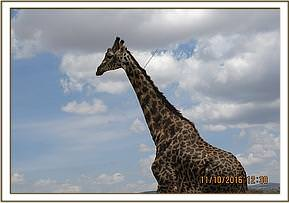 Masai giraffe with an arrow protruding