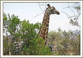 Giraffe walking away after treatment