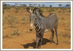 This Grevy Zebra has a severe leg injury
