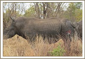 A rhino with a wound caused by parasites
