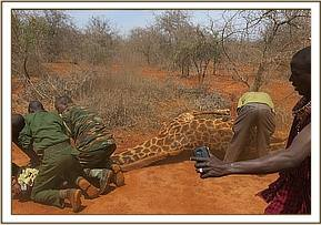 The vet team move in to secure the giraffe and remove the snare