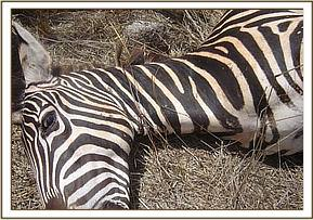 The snare can be clearly seen around the zebra's neck