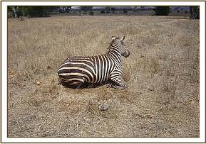 The zebra comes round after the reversal drug is administered