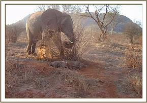 The female standing guard over the collapsed calf