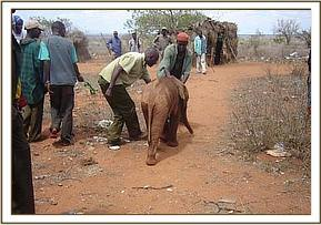 The calf was rescued by gemstone miners