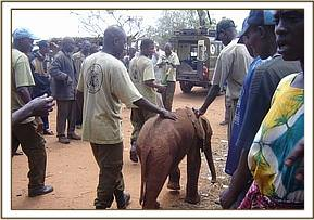 The calf follows the trust staff to the vet vehicle