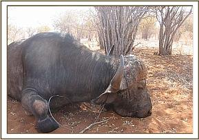 The immobilised buffalo with the snare around its neck