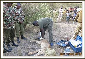 The vet assesses the lion for injuries
