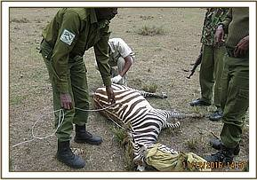 The snare is removed after the zebra is darted
