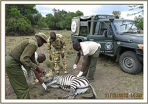 A zebra is seen with a wire snare requiring removal