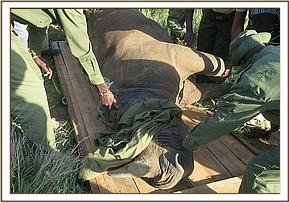 The rhino is translocated to the boma to recover