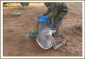 The zebra is darted for assessment and treatment