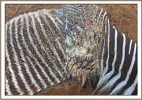 The zebra has a wound to the shoulder