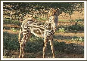 A Grevys zebra with a wound to the left shoulder and severe lameness
