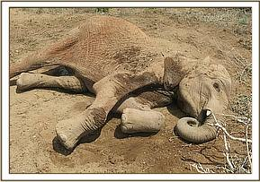 An elephant was found recumbent
