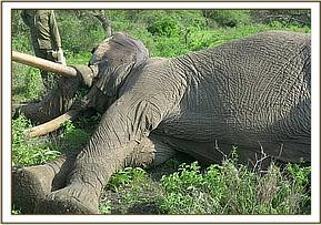 The elephant had sustained three spear wounds