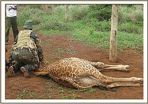 The giraffe is immobilised so it can be freed