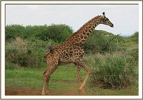 A giraffe is entangled in a wire fence