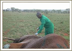 The vet revives the elephant
